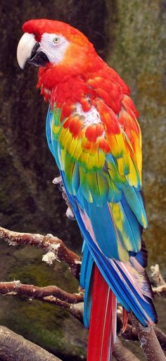 "This is the magnificent Scarlet macaw. The only macaw with no feathers on their ""leather,"" the white area around his eyes. Great bird to keep IF you're a big bird person. They can be a handful."