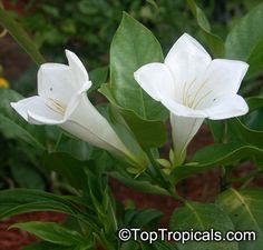 Dwarf Bell Flower (Portlandia latifolia); Creamy chocolate scented flowers appear over the warmer months.