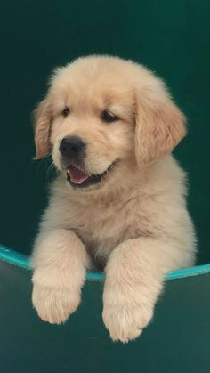All the things we adore about the Devoted Golden Retriever Pups Super Cute Puppies, Baby Animals Super Cute, Cute Baby Dogs, Cute Little Puppies, Cute Dogs And Puppies, Cute Little Animals, Cute Funny Animals, Pet Dogs, Doggies