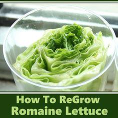 How To Regrow Romaine Lettuce #gardening