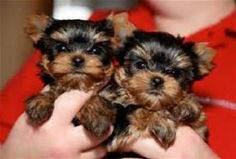 Available Teacup Yorkie Puppies for adoption Offer Delaware