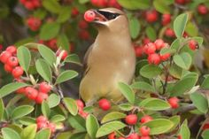 Best Fruit Trees for Attracting and Feeding Birds: Cedar waxwings love a wide variety of fruits.