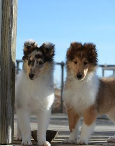Northern Classic Collies                                                       …