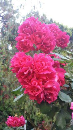 Hıdırellez- Roses