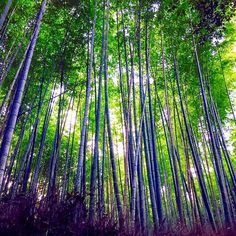 【g23am】さんのInstagramをピンしています。 《Bamboo Forest in Japan 🎋✨#japón #Japan #bambooforest #arashiyama #kyoto  #forest #photography #bamboo #nature #green #instadaily #iamtb #travel #Asia #嵐山 #竹 #森 #日本 #秋 #すごい #しあわせ #bambu #photooftheday #relaxing #discoverjapan》