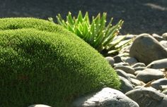 "Fantastic New Zealand native, moss like plant with the cool name ""Scleranthus biflorus""."