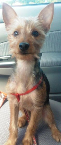 Name: Carly  Breed:  Yorkshire Terrier Yorkie / Chihuahua / Mixed (medium coat)  Gender: Female  Size: Small