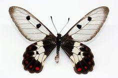 Lycaenidae- Cressida cressida insularis (Fruhstofer, 1909)