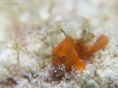 Juvenile Painted Frogfish (Antennarius pictus), size maybe above 1 cm