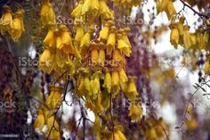 After the Rain - Vintage-Style Kōwhai Flower New Zealand native Kōwhai Flowers After the Rain. Best known for their brilliant yellow flowers that appear in profusion in Spring, Kōwhai are small woody legume trees within the genus Sophora that are native to New Zealand. This image his a Vintage-Style Kowhai in soft focus. Abstract Stock Photo Abstract Images, Abstract Backgrounds, Vintage Style, Vintage Fashion, Photo Composition, Video Image, Flower Photos, Feature Film, Photo Illustration
