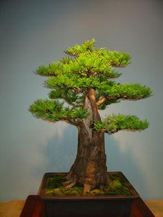 Cypress Bonsai, Formal Upright style (Chokkan).