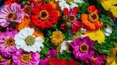 La flor caléndula o maravilla se cultiva en las regiones del Mediterráneo y en Anatolia o Asia Menor. Es una flor que requiere de climas templados y terren