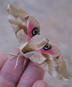 Eyed Hawk Moth. They are displayed when the moth feels threatened, and may startle a potential predator, giving the moth a chance to escape.