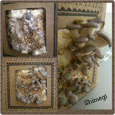 Shimegi cultivado em casa!