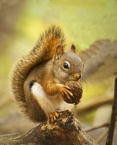 Red Squirrel | by Steve Gilchrist