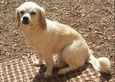 The Peagle Most Popular Dog Breeds, Best Dog Breeds, Best Dogs, Cute Beagles, Cute Puppies, Cute Dogs, Types Of Beagles, Dog Friends, Best Friends