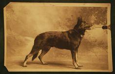 german shepherd dog, demo's grandpa maybe?! lol