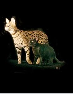 Savannah Cat Compared To Normal Breed Size