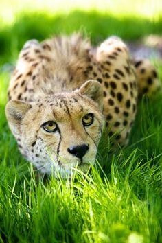 Cheetah -- Effortlessly Gorgeous!