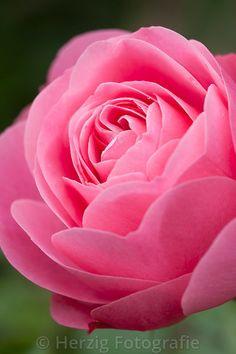 """Rose """"Leonardo da Vinci"""""""