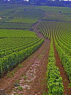 Vines in Grand Cru Vineyards, Romanee Conti and Richebourg Leading to La Romanée-Vosne, Burgundy, France.  Photo: Pers Karlsson