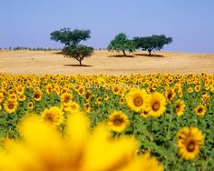Cork trees and sunflowers in the vast plains of Alentejo, Portugal. Romance and luxury