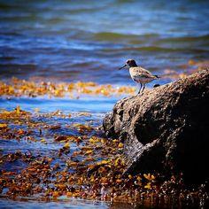 Ryle på sten på skønne Helnæs #visitfyn #fyn #nature #visitdenmark #naturelovers #nofilter #natur #denmark #danmark #dänemark #landscape #nofilter #assens #mitassens #vildmedfyn #fynerfin #vielskernaturen #visitassens #instapic #picoftheday #bird #seaweed #stone #sea #september