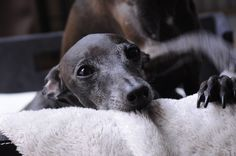 Ten / Italian Greyhounds #Italiangreyhound #dog