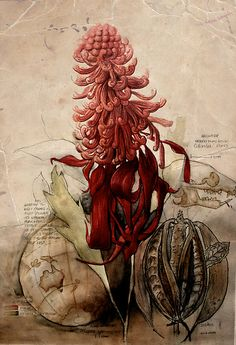 """Telopea speciosissima: An Ecological Portrait"" by Paul Kalemba Botanical Flowers, Botanical Prints, Scientific Drawing, Science Illustration, Nature Illustrations, Illustration Botanique, Historia Natural, Merian, Art Japonais"