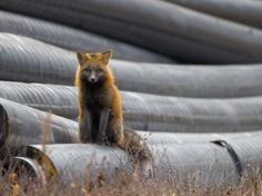 Picture of a red fox in Canada