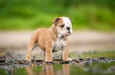 The major breeds of bulldogs are English bulldog, American bulldog, and French bulldog. The bulldog has a broad shoulder which matches with the head. Baby English Bulldogs, Baby Bulldogs, French Bulldog, British Bulldog, Bulldog Breeds, Bulldog Puppies, Dogs And Puppies, Bulldogge Tattoo, Bulldog Wallpaper