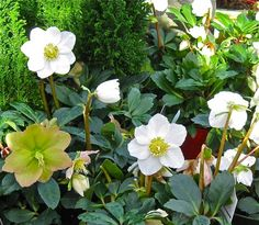 Black Hellebore / Christmas Rose Helleborus niger The homeopathic remedy Helleborus is prepared organically from the plant called Helleborus niger (common names Christmas rose or black hellebore). Diana Gabaldon Outlander Series, Plant Guide, Plant Information, Christmas Rose, Homeopathic Remedies, Homeopathy, Little Girls, Herbs, Common Names