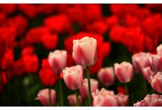 My favorite flower, the Tulip