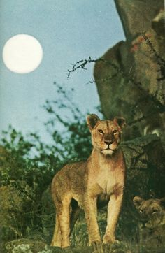 Lioness of the Serengeti    National Geographic | April 1969