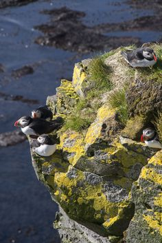 Puffin family at the Látrabjarg Cliffs.