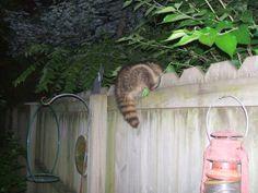 A raccoon playing 'possum