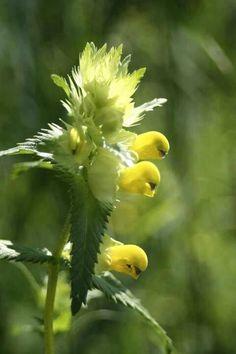 Rare Parrot Flower | plants