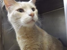 Tig is an adoptable Domestic Short Hair - Buff Cat in Shelbyville, IN. Tig is a buff-colored domestic shorthair feline that was surrendered to the animal shelter almost two months ago because the owne...