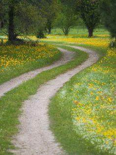 Tracks in Field of Coreopsis Wildflowers Near Brenham, Texas, USA .**