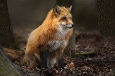Red Fox by Irene - ikord on 500px