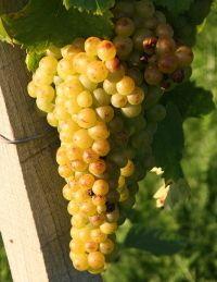 Muscat d Alsace Pinot Gris, Muscat, Alsace, Raisin, Vegetables, White Wine, Vegetable Recipes, Veggies