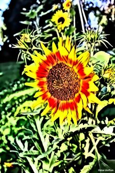 Sunflower in St. Hanshaugen park, July 12, 2014.