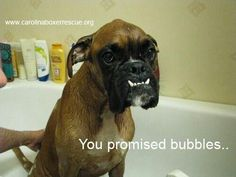 This Boxer wants bubbles that are not his own!