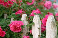 Rosa - trepadeira