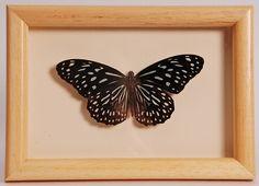 Opgezette vlinders in oude lijst  - V0027