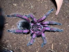 Spider Identification – Types of Spiders URL: http://wolfspider.org/ (NOT A WOLF SPIDER!)