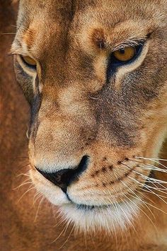 Up close lioness
