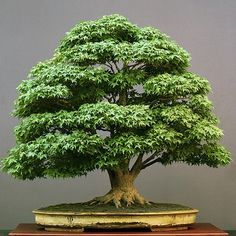 Bonsai boomFosterginger.Pinterest.ComMore Pins Like This One At FOSTERGINGER @ PINTEREST No Pin Limitsでこのようなピンがいっぱいになるピンの限界