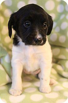 Bedminster Nj Shih Tzu Chihuahua Mix Meet Pongo A Puppy For Adoption Http Www Adoptapet Com Pet 12276295 Bedminster N Shih Tzu Puppy Adoption Cute Dogs