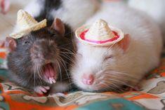 Cute rats wearing hats
